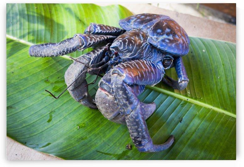 Coconut crab (Birgus latro); Vanuatu by PacificStock