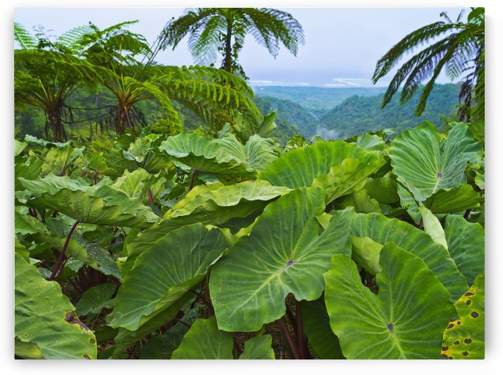 Overlooking taro leaves onto Samoa's southeast coast; Upolu Island, Samoa by PacificStock