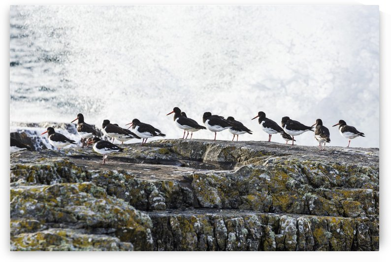 Wave crashing into rocks with a row of oystercatchers; Kilkee, County Clare, Ireland by PacificStock