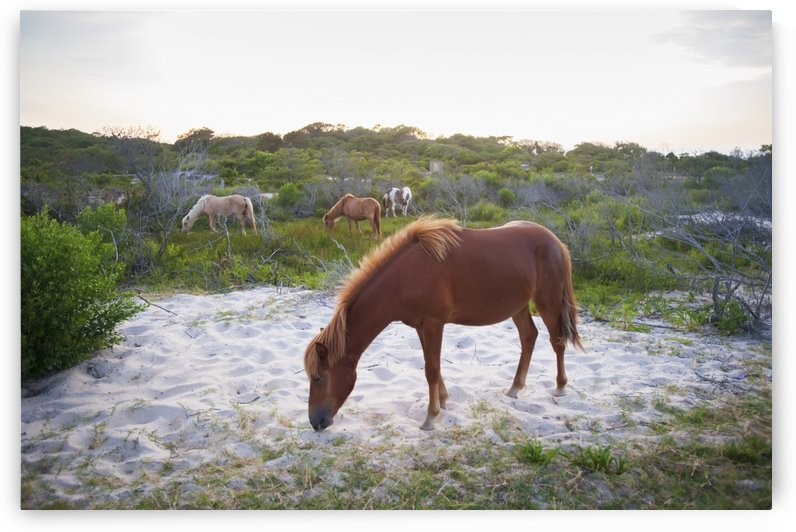 Horses grazing at Assateague Island National Seashore; Maryland, United States of America by PacificStock