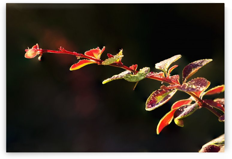 Close up of Berberis; Quebec, Canada by PacificStock
