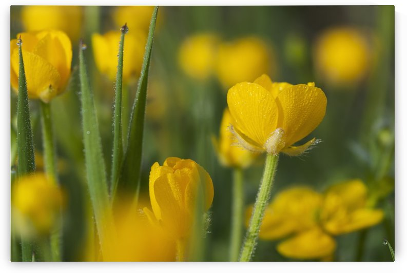 Buttercups blooming; Astoria, Oregon, United States of America by PacificStock