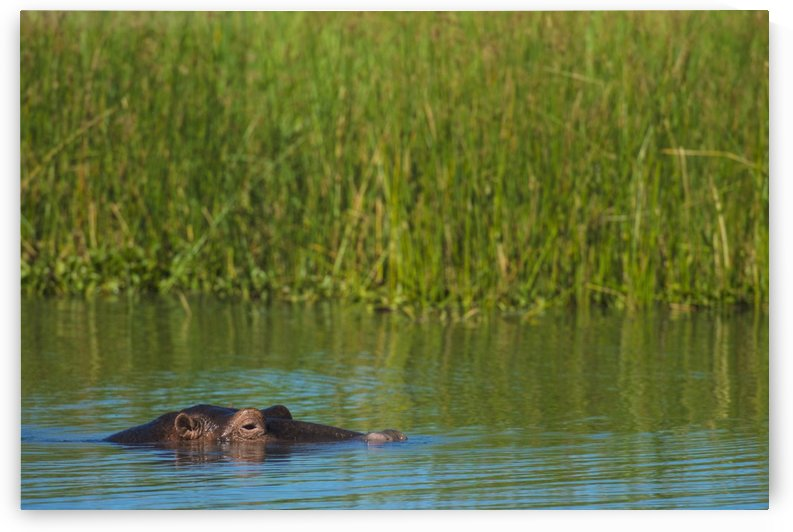Hippo (Hippopotamus amphibius) peeking out from the Shire River, Liwonde National Park; Malawi by PacificStock