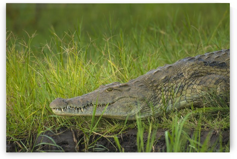 Crocodile on the banks of the Shire River, Liwonde National Park; Malawi by PacificStock