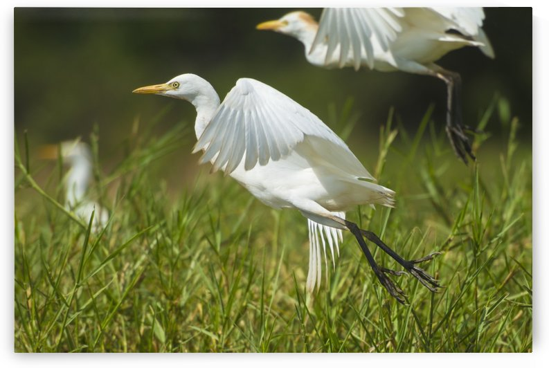Egrets taking flight, Liwonde National Park; Malawi by PacificStock