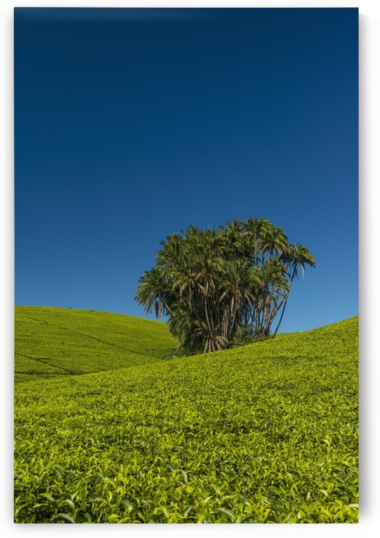Collection of palm trees amongst hills covered in tea bushes, Satemwa Tea Estate; Thyolo, Malawi by PacificStock