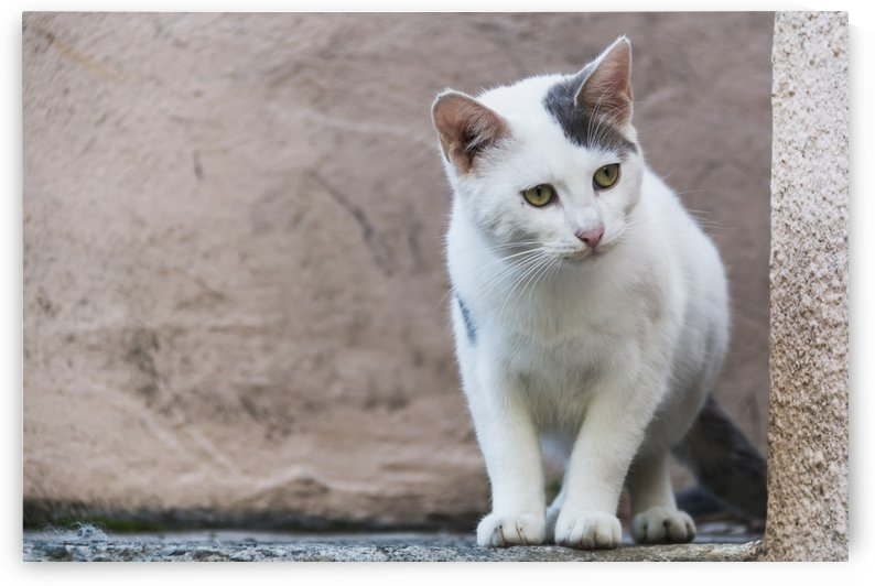 A white cat stands on a ledge; Paphos, Cyprus by PacificStock