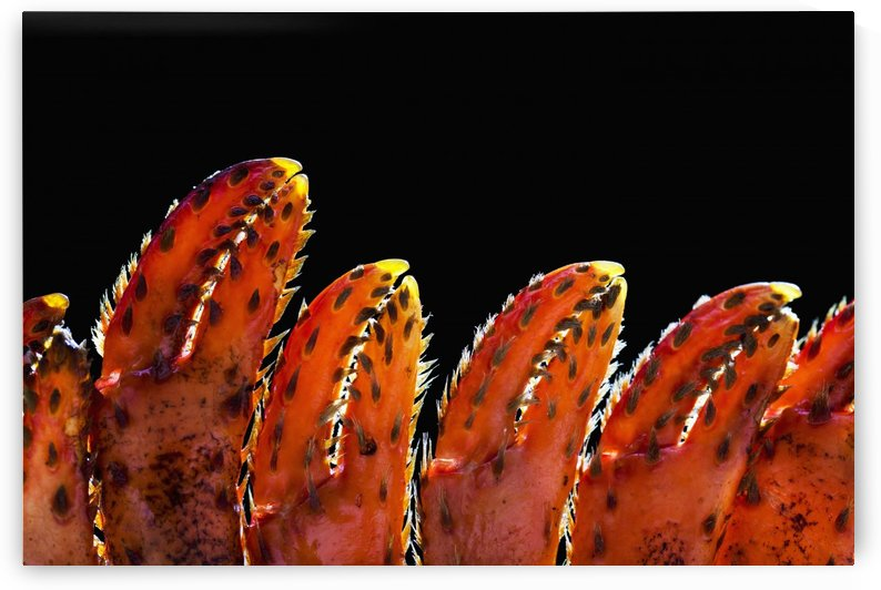 Close up of lobster claws against a black background; Calgary, Alberta, Canada by PacificStock