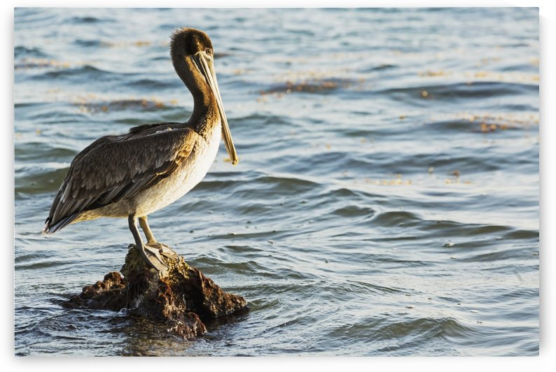 Pelican perched on a rock in the water; Akumal, Quintana Roo, Mexico by PacificStock