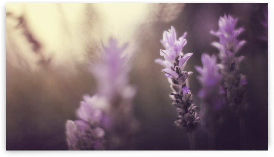 Purple flowers in winter light; Sharon Valley, Israel by PacificStock
