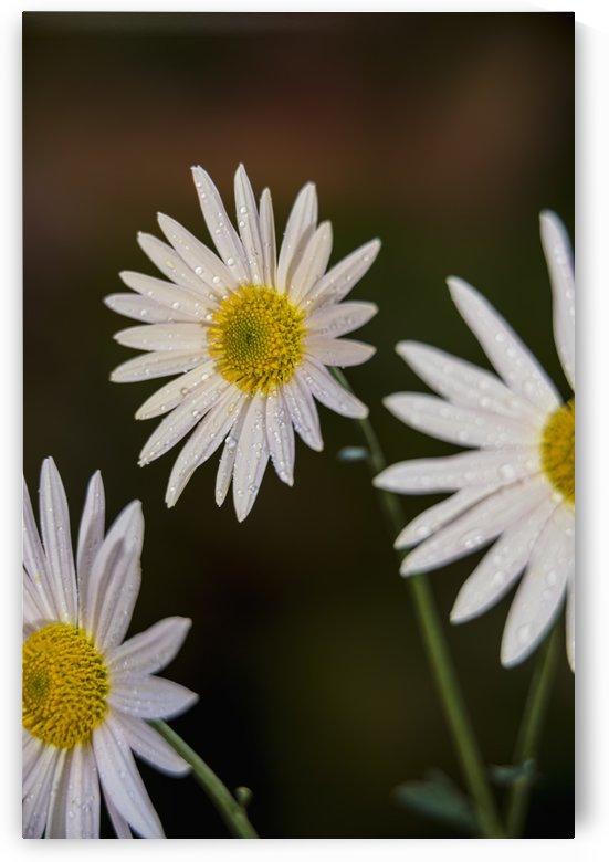 Korean chrysanthemums (Asteraceae), New York Botanical Garden; New York City, New York, United States of America by PacificStock