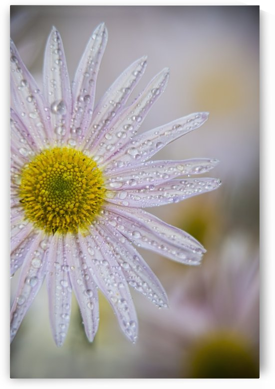 Korean chrysanthemum (Asteraceae), New York Botanical Garden; New York City, New York, United States of America by PacificStock