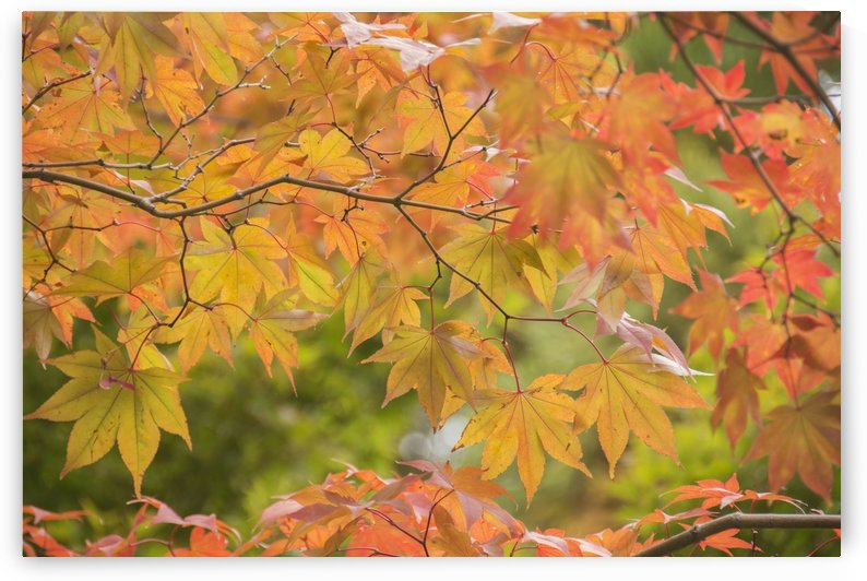 Japanese maple in autumn colours; Uji, Kyoto, Japan by PacificStock