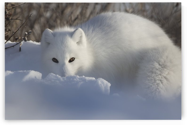 Arctic fox (Vulpes lagopus) staring at the photographer while digging in the snow; Churchill, Manitoba, Canada by PacificStock