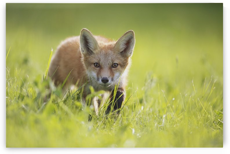 A fox in the grass; Montreal, Quebec, Canada by PacificStock