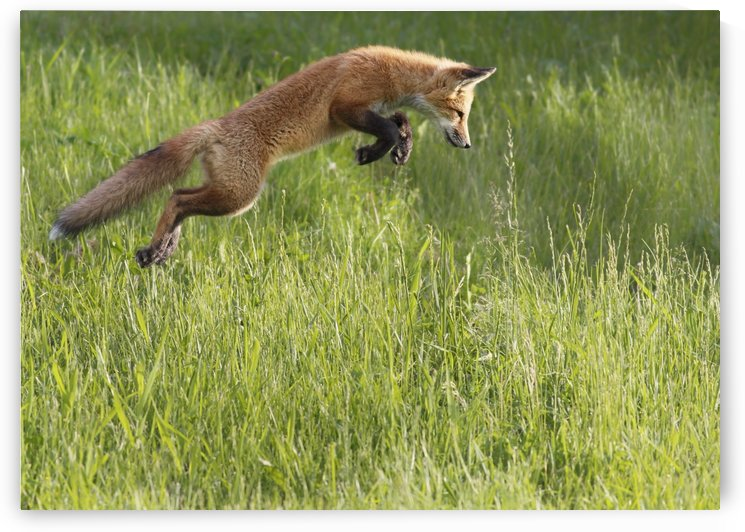 Fox jumping in a grass field; Montreal, Quebec, Canada by PacificStock