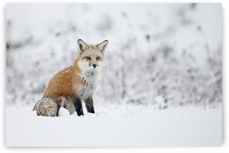 Fox sitting in the snow; Montreal, Quebec, Canada by PacificStock