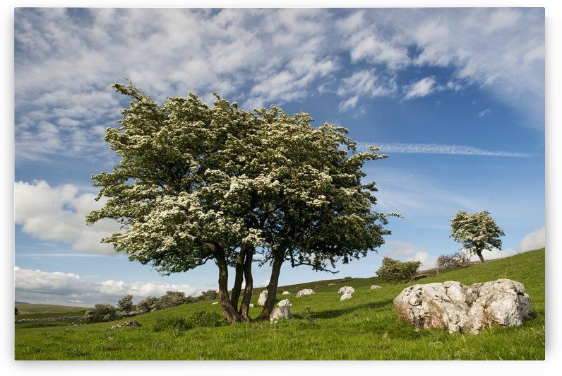 Gnarled Hawthorn tree in blossom, in a upland limestone pasture, with a dramtic sky; Cumbria, England by PacificStock
