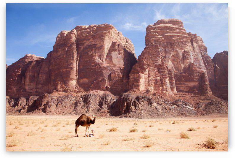 Baby camel and mother; Wadi Rum, Jordan by PacificStock