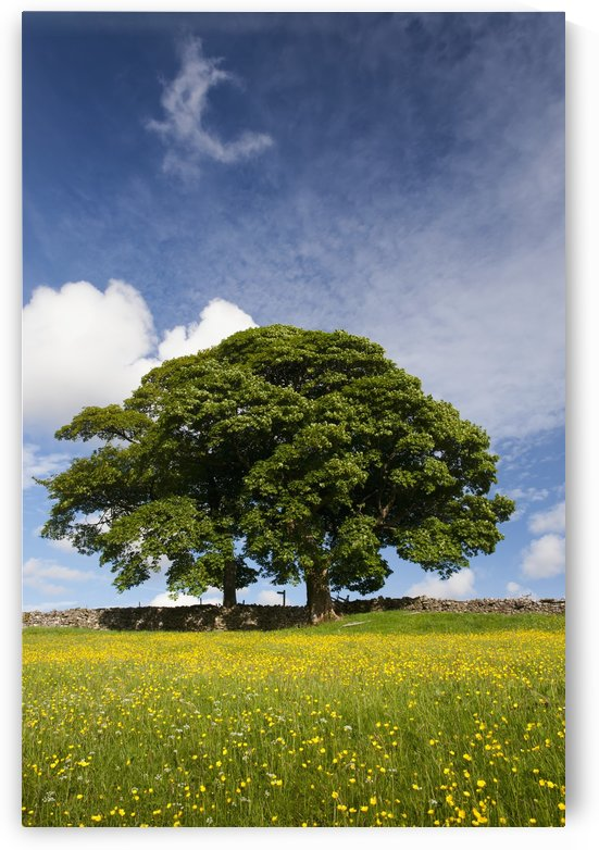 Sycamore tree on the edge of a traditional upland hay meadow; Cumbria, England by PacificStock