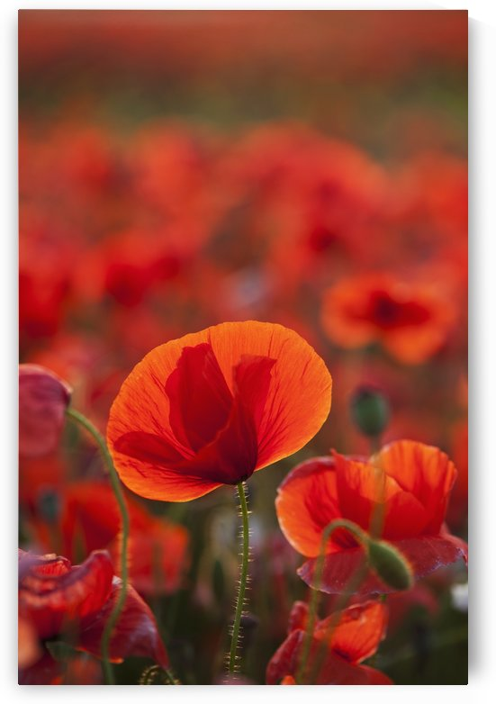 Common Poppy (Papaver rhoeas) covering an arable field; North Yorkshire, England by PacificStock
