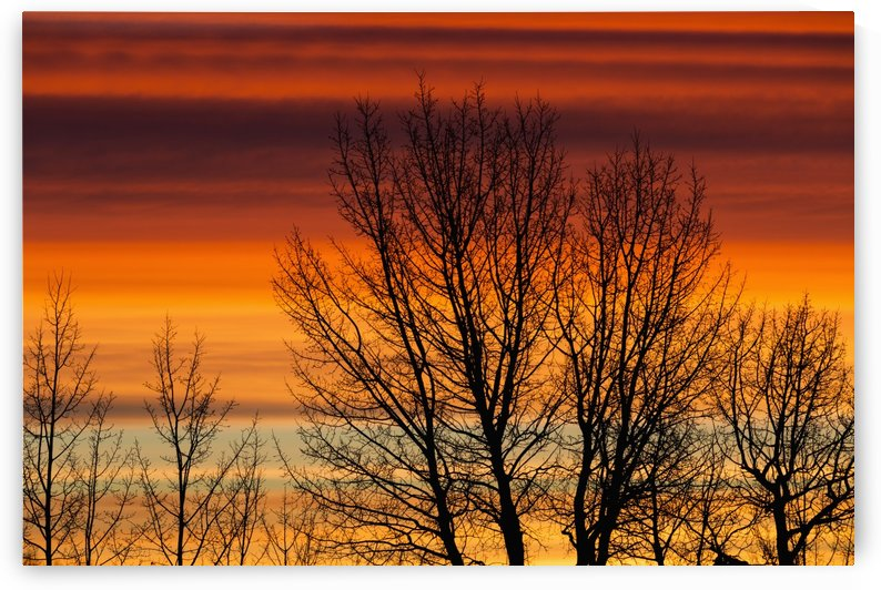 Silhouetted tree branches with dramatically colourful clouds at sunrise; Calgary, Alberta, Canada by PacificStock