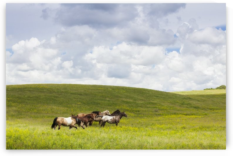 Horses in a field; Winnipeg, Manitoba, Canada by PacificStock
