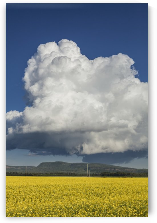 Canola field with blue sky and cloud; Thunder Bay, Ontario, Canada by PacificStock