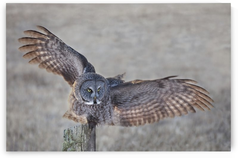 Great Grey Owl (Strix nebulosa) on fence post; Thunder Bay, Ontario, Canada by PacificStock