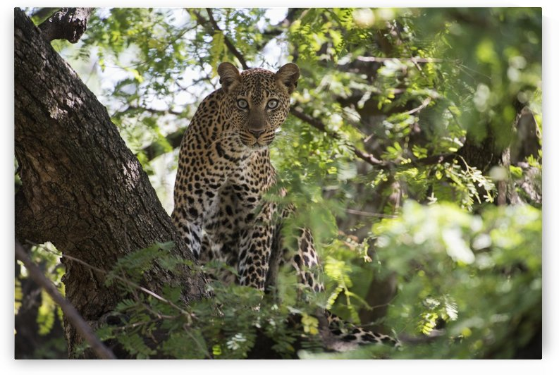 Leopard staring from tree in Lake Manyara National Park; Tanzania by PacificStock