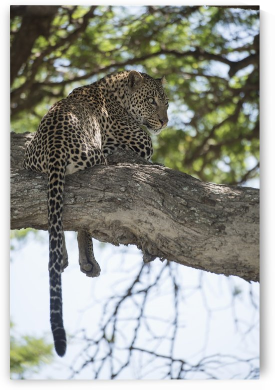 Leopard resting in tree near Ndutu, Ngorongoro Crater Conservation Area; Tanzania by PacificStock