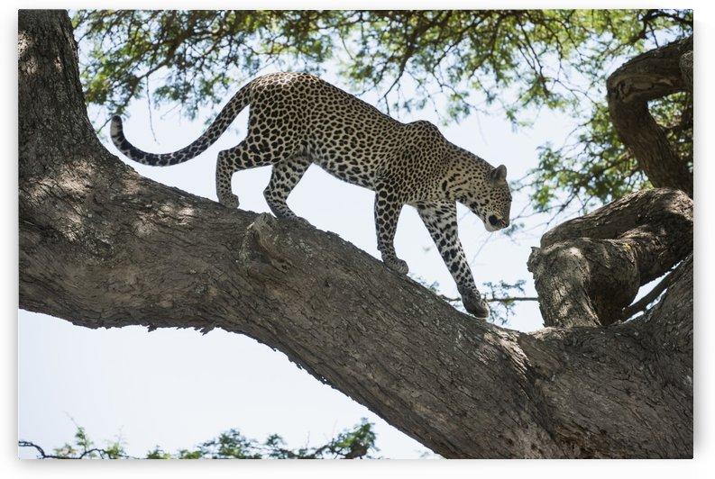 Leopard walking on tree limb near Ndutu, Ngorongoro Crater Conservation Area; Tanzania by PacificStock