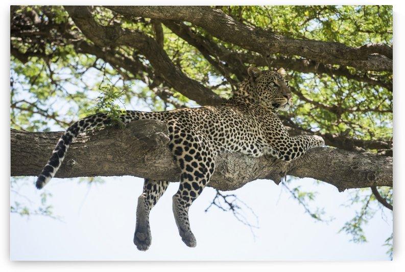 Leopard sprawled on tree limb near Ndutu, Ngorongoro Crater Conservation Area; Tanzania by PacificStock
