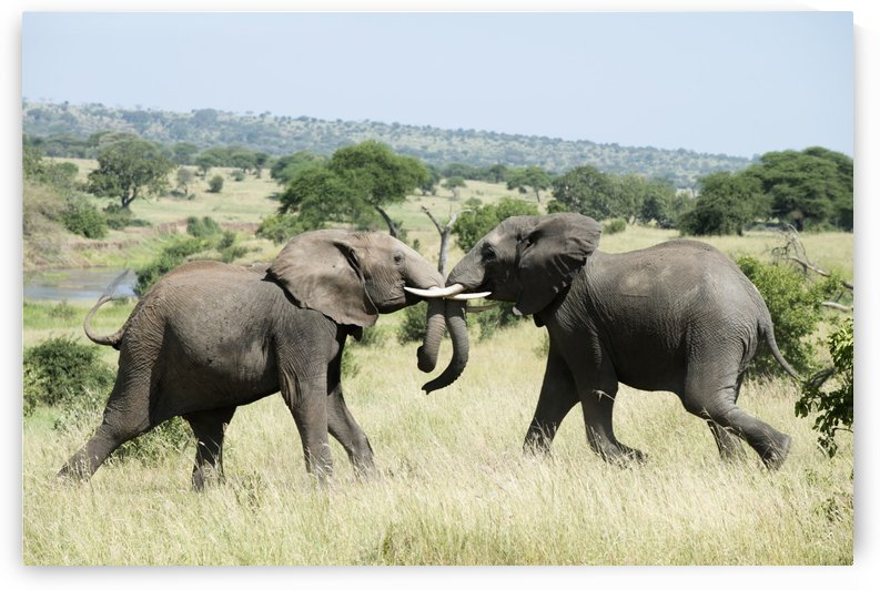 Elephants sparring in Tarangire National Park; Tanzania by PacificStock