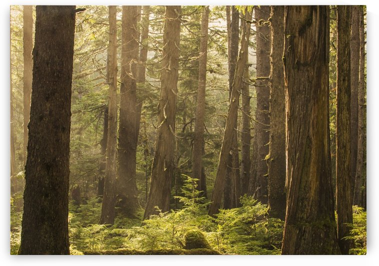 Sunlight streams through the rainforest of Naikoon Provincial Park which is on Haida Gwaii; British Columbia, Canada by PacificStock