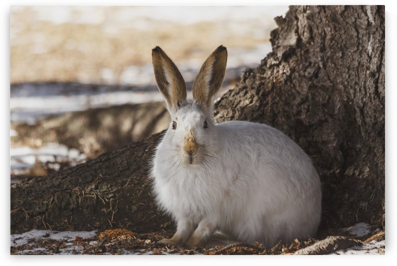 Wild prairie hare/white-tailed jack rabbit (Lepus townsendii) in winter fur at the foot of a spruce tree; Edmonton, Alberta, Canada by PacificStock