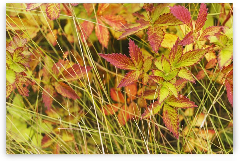 Coloured leaves, wild raspberry, at the end of the summer season; Edmonton, Alberta, Canada by PacificStock