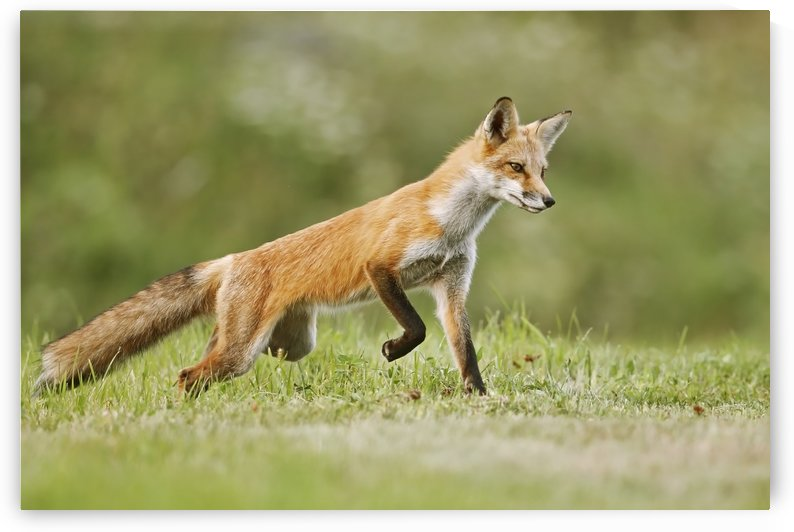 Red fox (vulpes vulpes) walking on grass; Montreal, Quebec, Canada by PacificStock