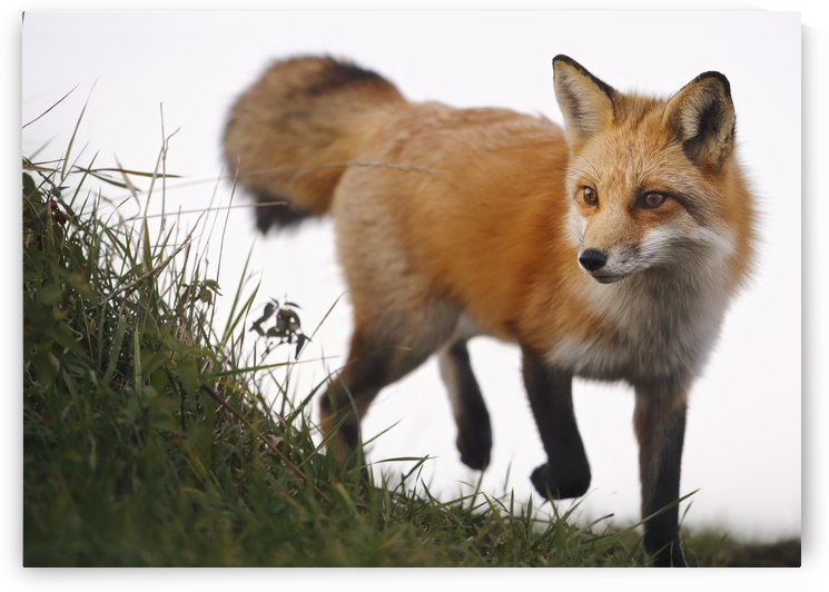 Red fox (vulpes vulpes); Montreal, Quebec, Canada by PacificStock