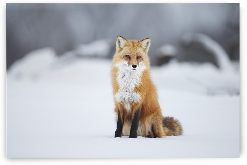 Male red fox (vulpes vulpes) sitting in the snow in winter; Montreal, Quebec, Canada by PacificStock