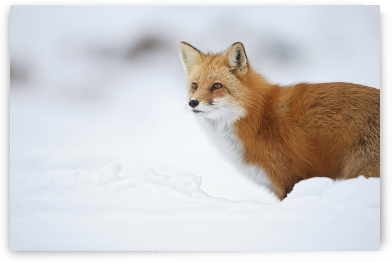 Male red fox (vulpes vulpes) standing in the snow in winter; Montreal, Quebec, Canada by PacificStock