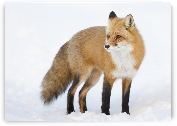 Red fox (vulpes vulpes) standing in the snow in winter; Montreal, Quebec, Canada by PacificStock