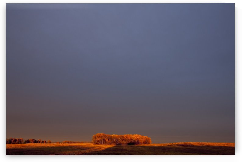 A section of trees on the edge of a wheat field glowing orange at sunset; Manitoba, Canada by PacificStock