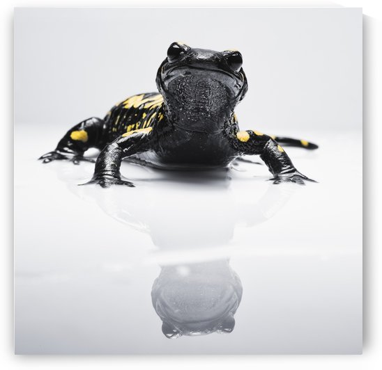 Salamander (Caudata) with it's reflection on a white surface; Tarifa, Cadiz, Andalusia, Spain by PacificStock