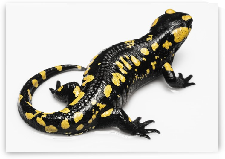 Salamander (Caudata) on a white background; Tarifa, Cadiz, Andalusia, Spain by PacificStock