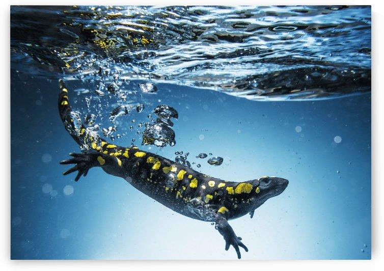 Salamander (Caudata) swimming in water; Tarifa, Cadiz, Andalusia, Spain by PacificStock