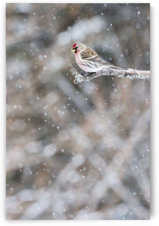 Common redpoll (Acanthis flammea) perched on a branch in a snowfall; Quebec, Canada by PacificStock