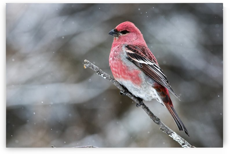 Pine grosbeak (Pinicola enucleator) male perched on a branch in a snowfall; Quebec, Canada by PacificStock
