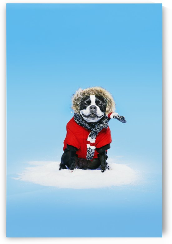 French bull terrier wearing jacket on blue background; Toronto, Ontario, Canada by PacificStock