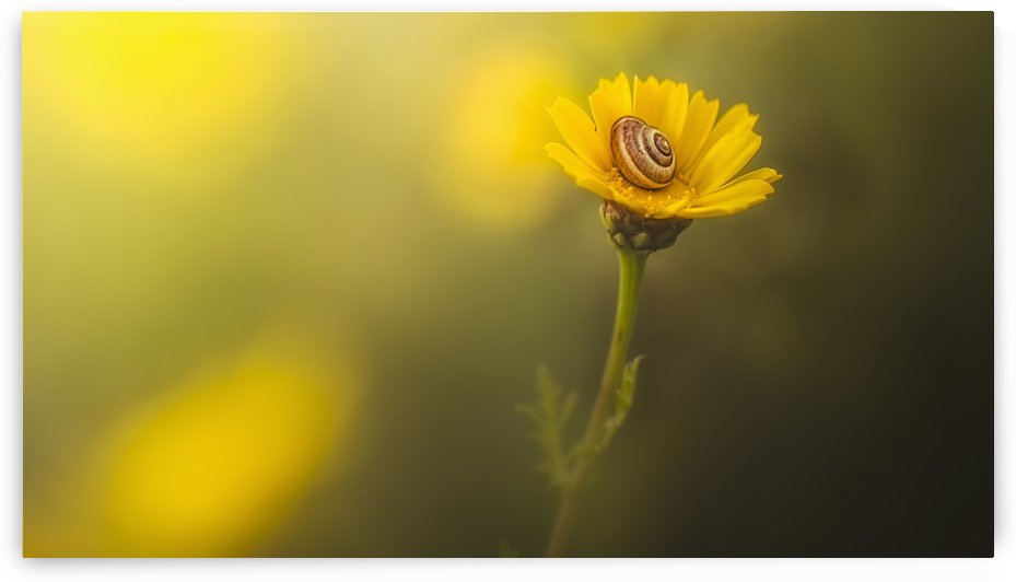 A snail in it's shell on a bright yellow flower; Sharon Valley, Israel by PacificStock